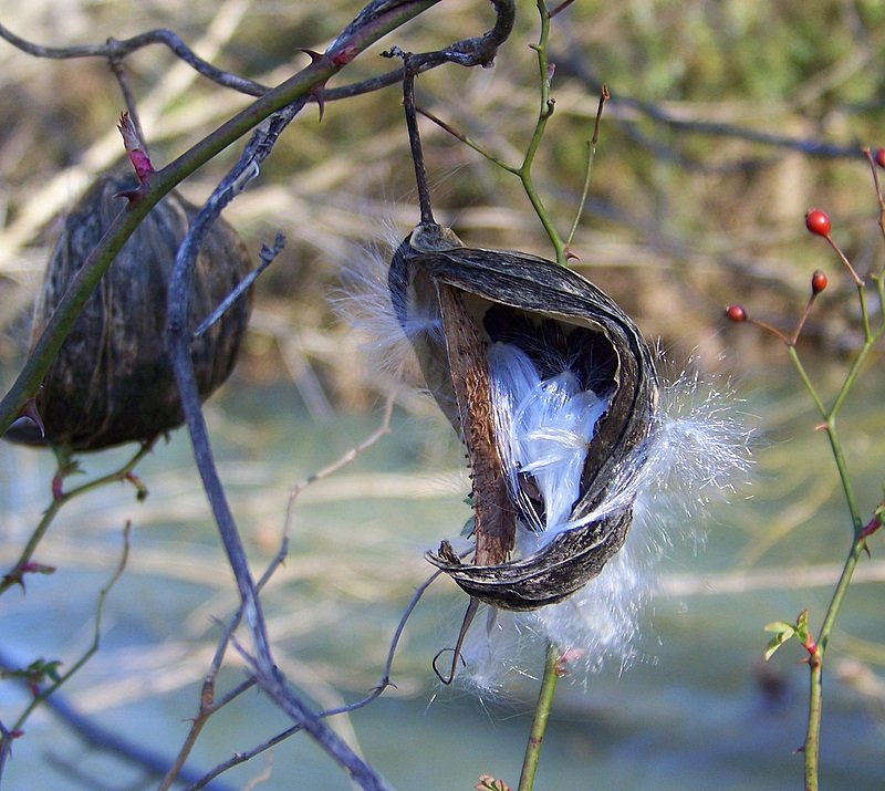 Pods Hang Over the River