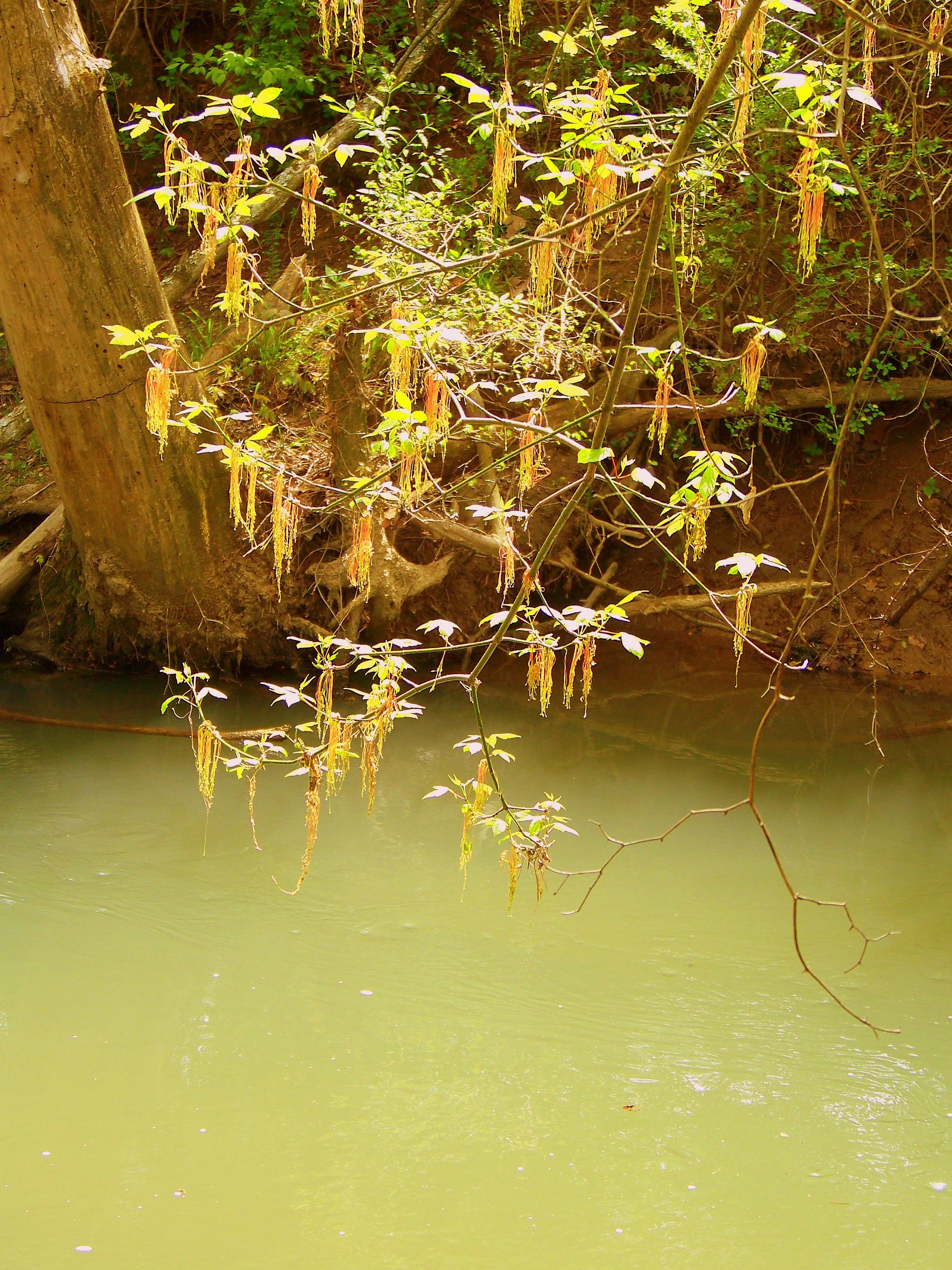 Alder Flowers hang over the river