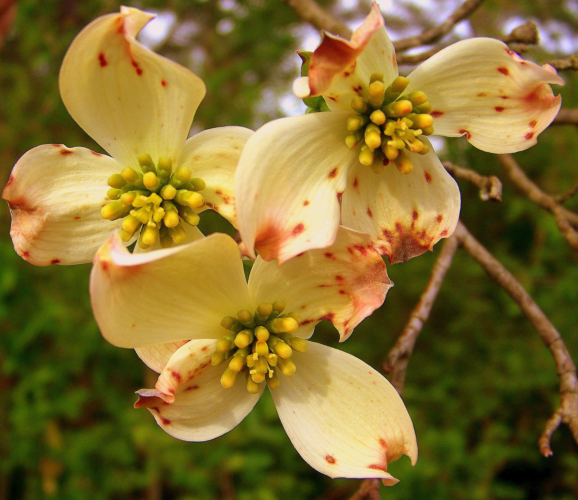 Dogwood blooms in Spring