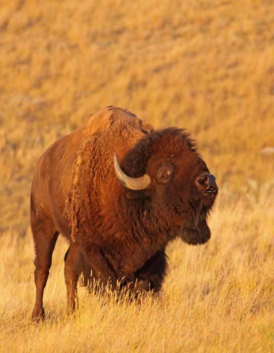 bison-VII.jpg