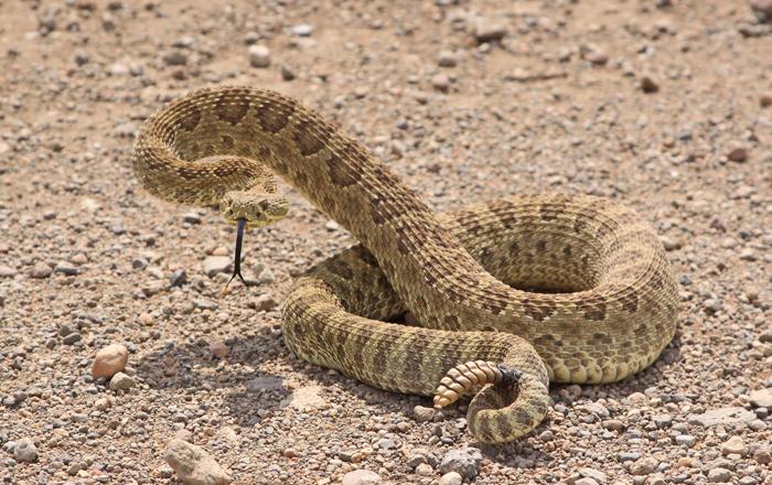 prairie-rattlesnake-III.jpg