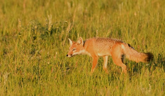 Swift-fox-XII.jpg