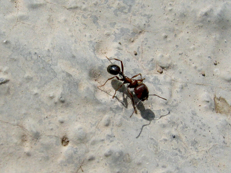 Giant ant at the cafe area below Mt. Nemruts tumulus