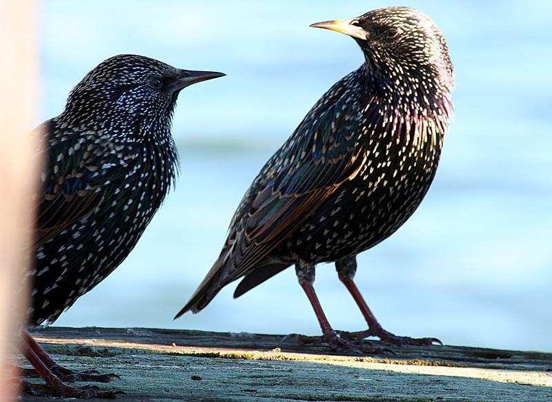 2 birds at Crissy Field, San Francisco