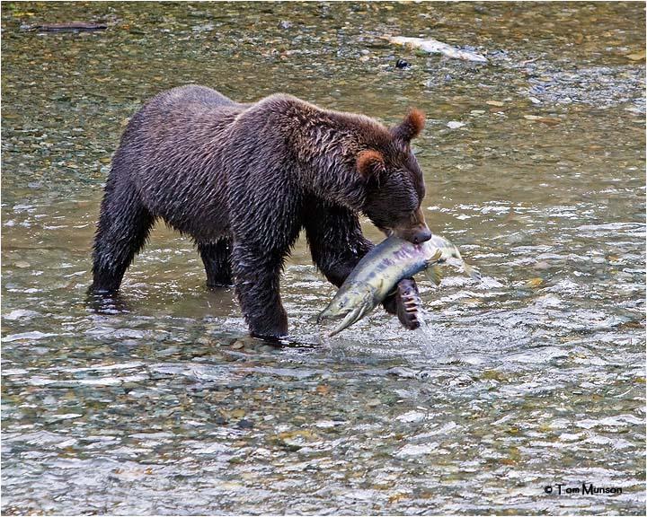Grizzly Bear-Chum Salmon