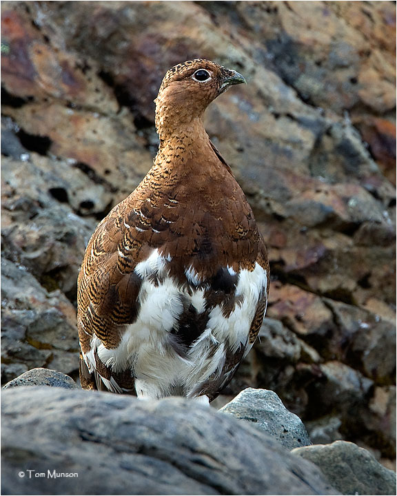 Willow Ptarmigan (male)