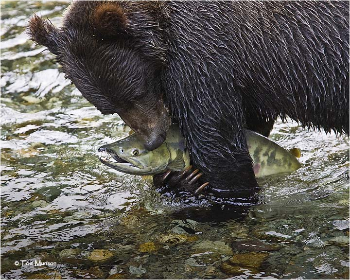 Grizzly Bear-Chum Salmon