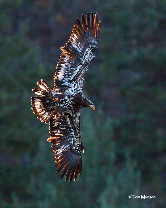 (Backlit) Bald Eagle  (Immature)