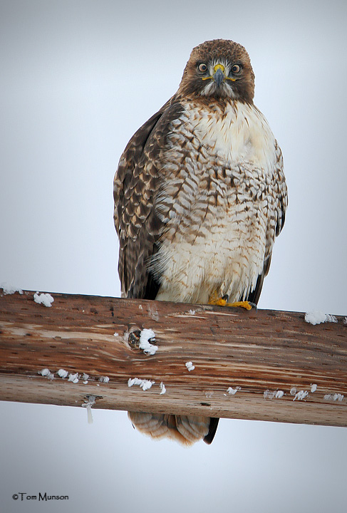 Cross-eyed Red-tailed Hawk