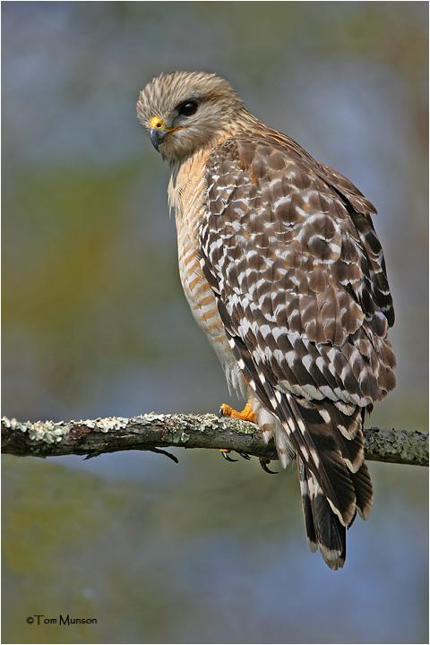 Red-shoulderd Hawk