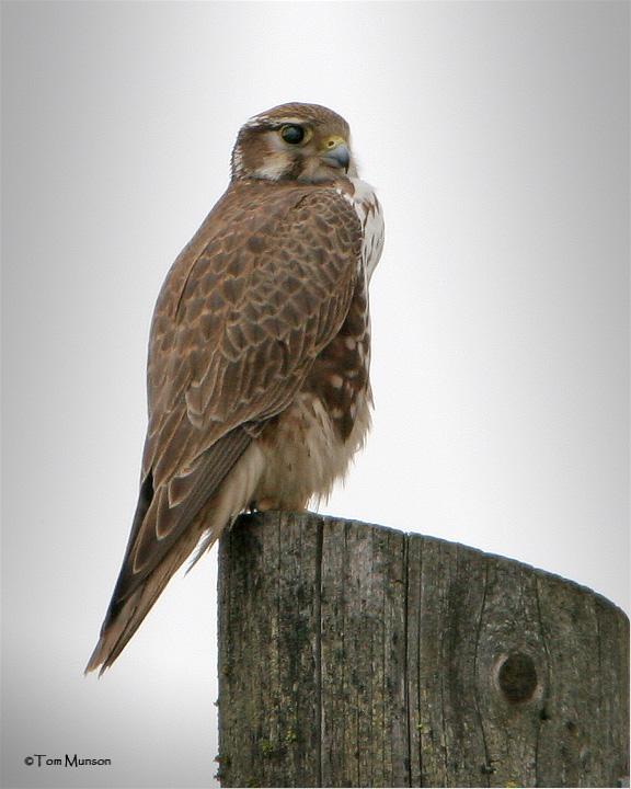 Prairie Falcon ( with a full crop)