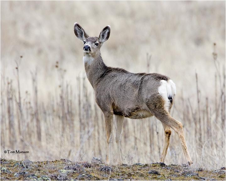 Mule Deer  (doe)