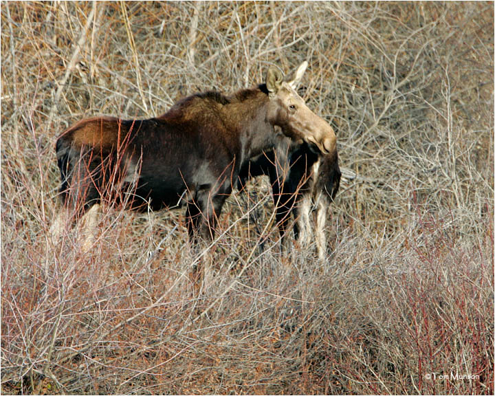 Cow Moose with her yearling