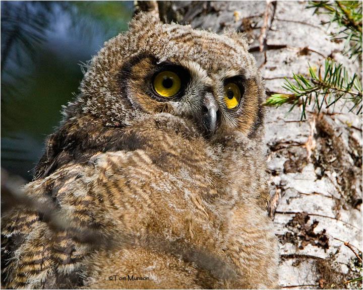 Great Horned Owl ( fledgling)