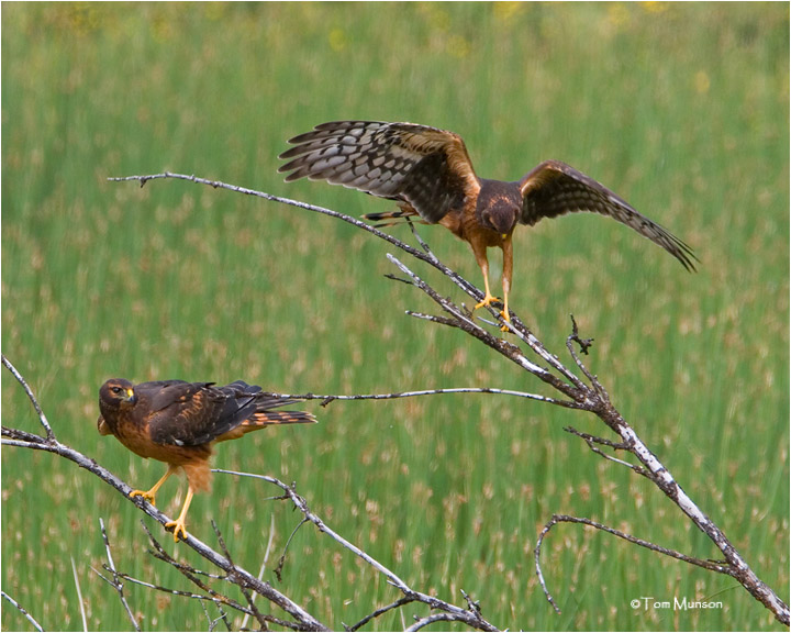 Northern Harriers  (recently fledged)