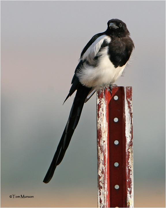 Black-billed Magpie .
