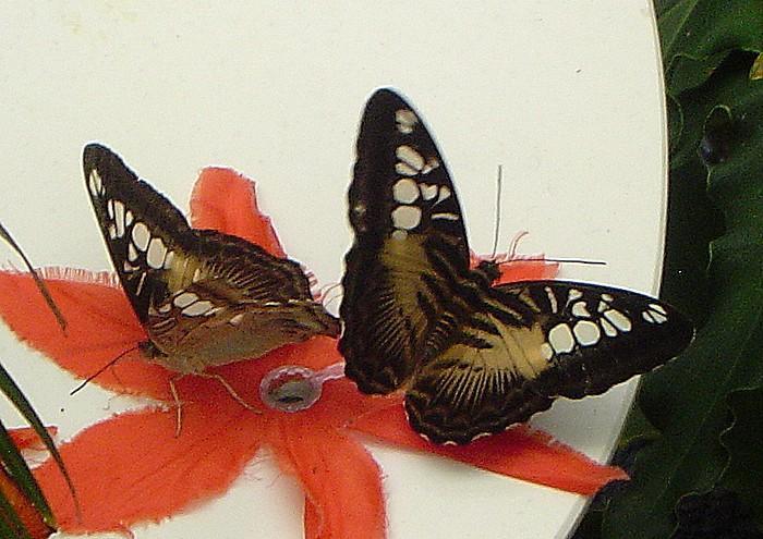 Brown Clipper Butterflies.jpg
