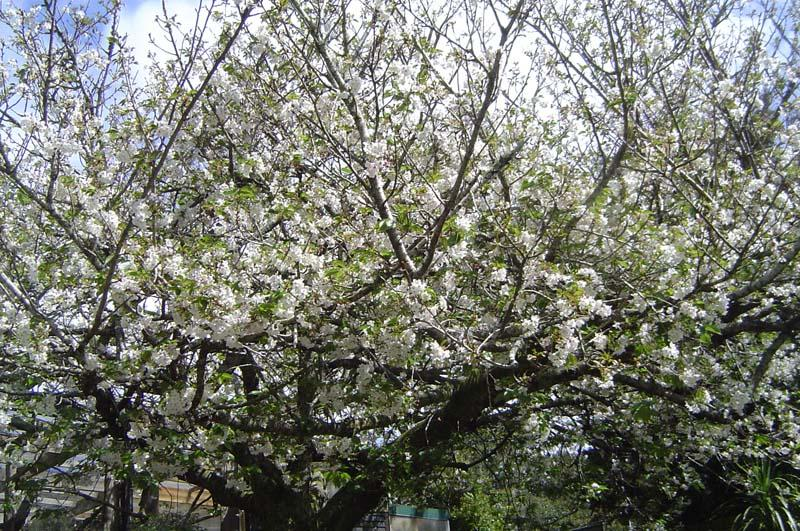 Fruit tree in blossom at the Zoo.jpg