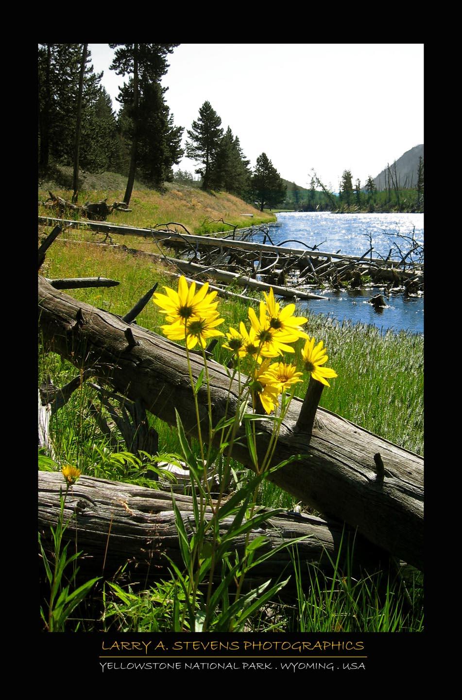 Flowers - YELLOWSTONE NP