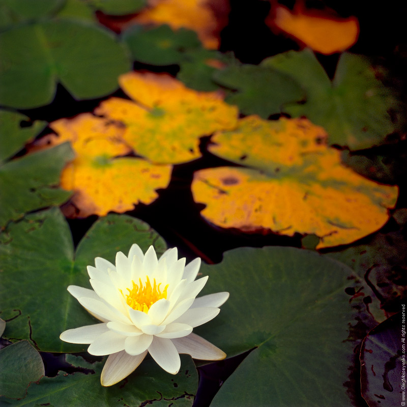 Water lily (Nymphea)