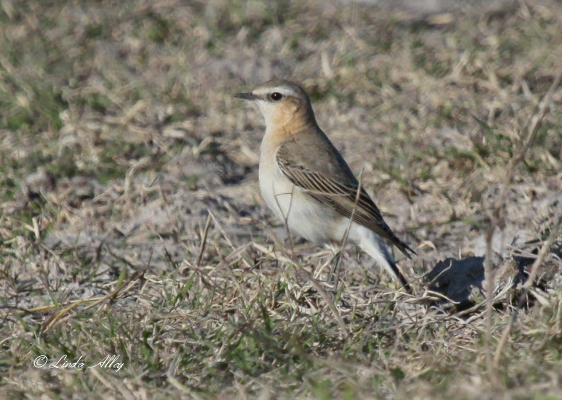 northern wheatear IMG_2278.jpg