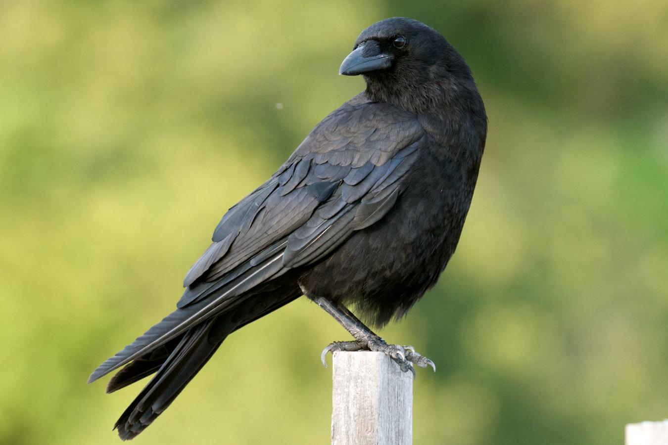 American Crow, New Brunswick.jpg