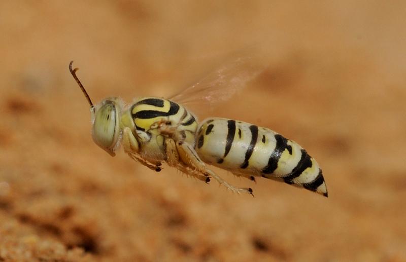Bembix priesneri (female)