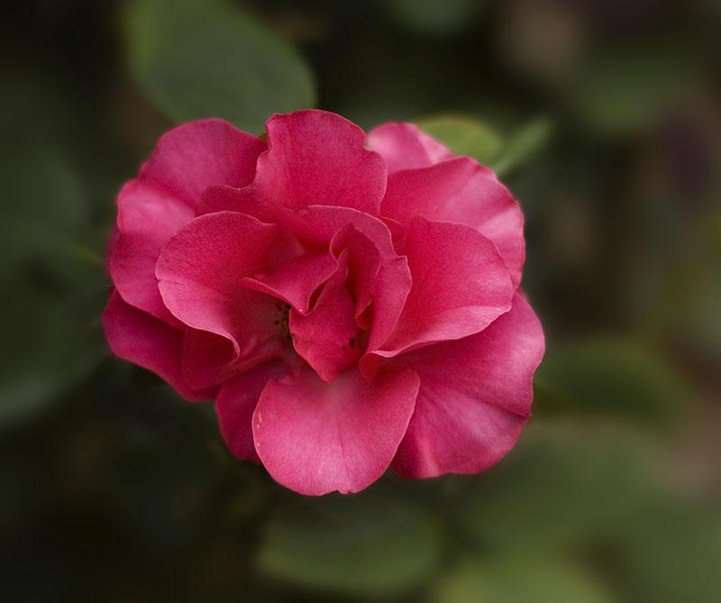 Rose Version 1