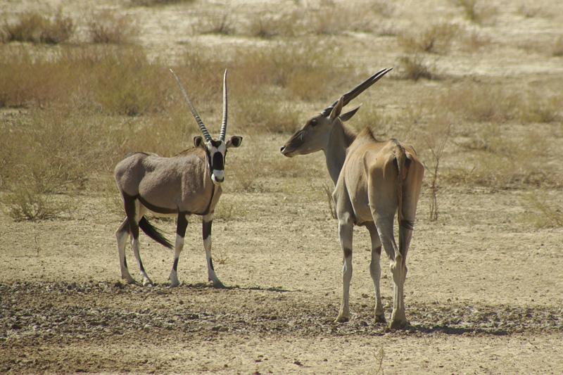 Oryx and Eland