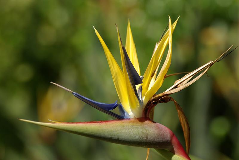 Strelitziaceae