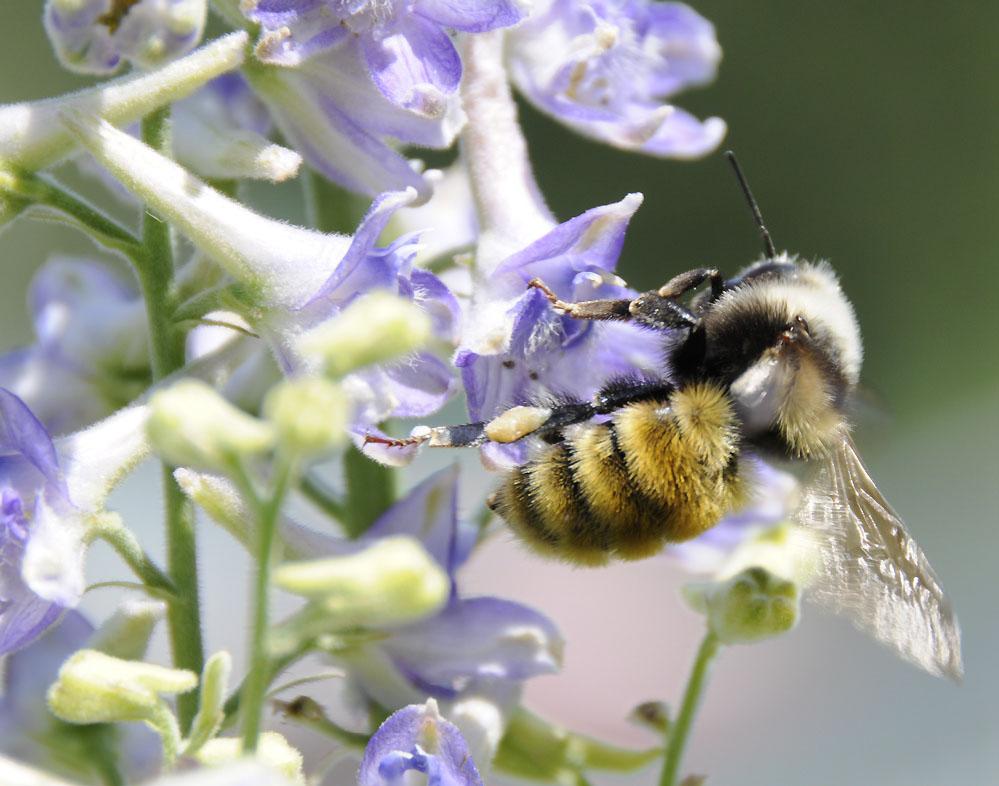 bumble bee on larkspur _DSC6763.jpg