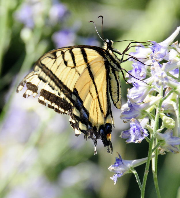 Tiger Swallowtail Butterfly on Larkspur smallfile _DSC6891.jpg