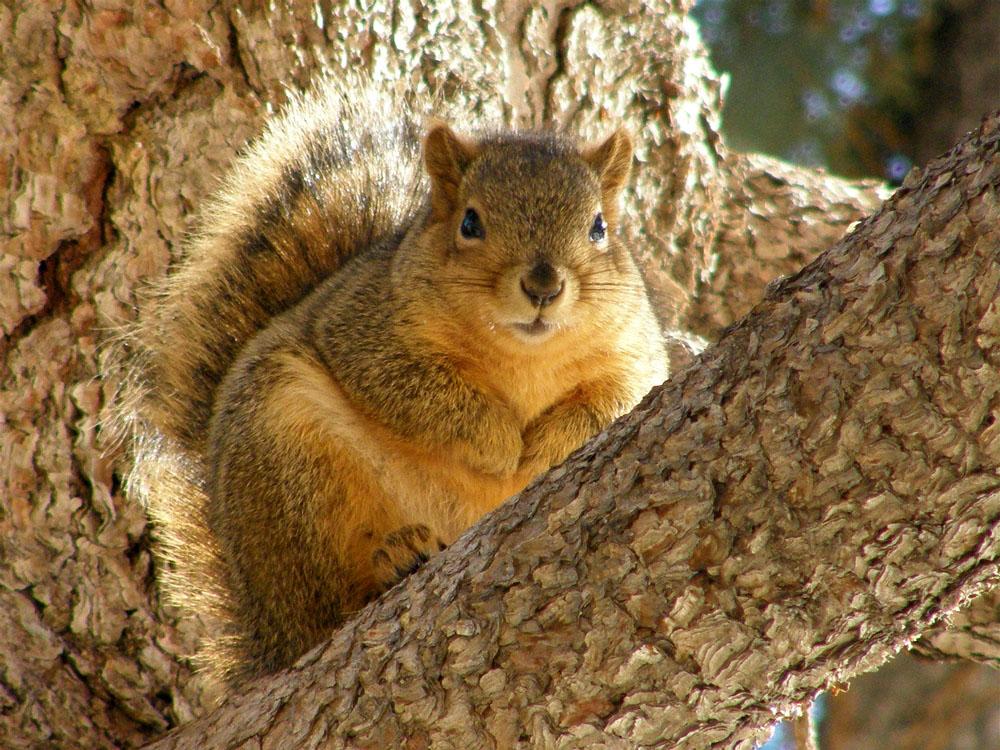 ISU College of Engineering Fox Squirrel P2190066.jpg