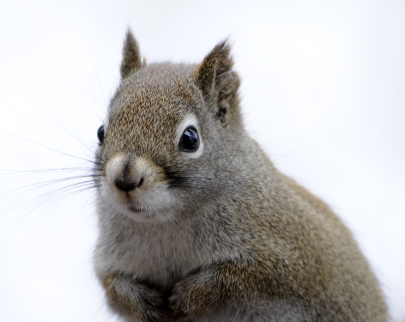 Red Squirrel _DSC1077.jpg