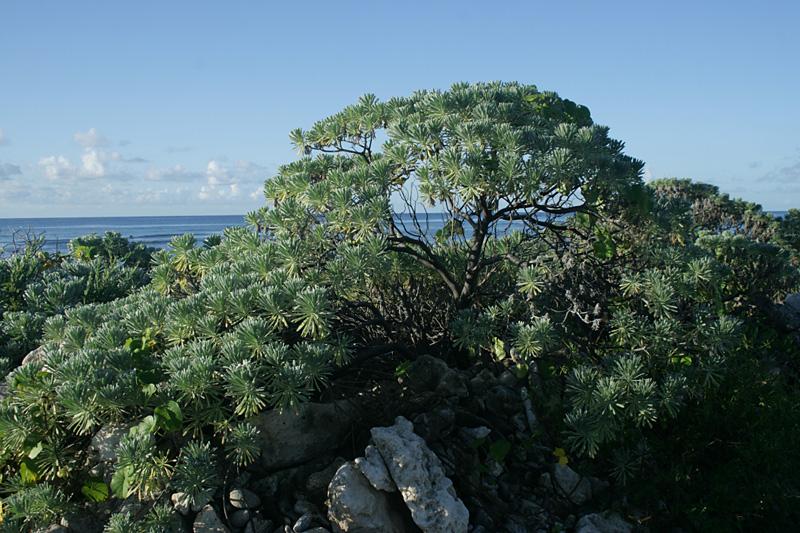 Sea lavendar (Argusia gnaphalodes), Preston Bay