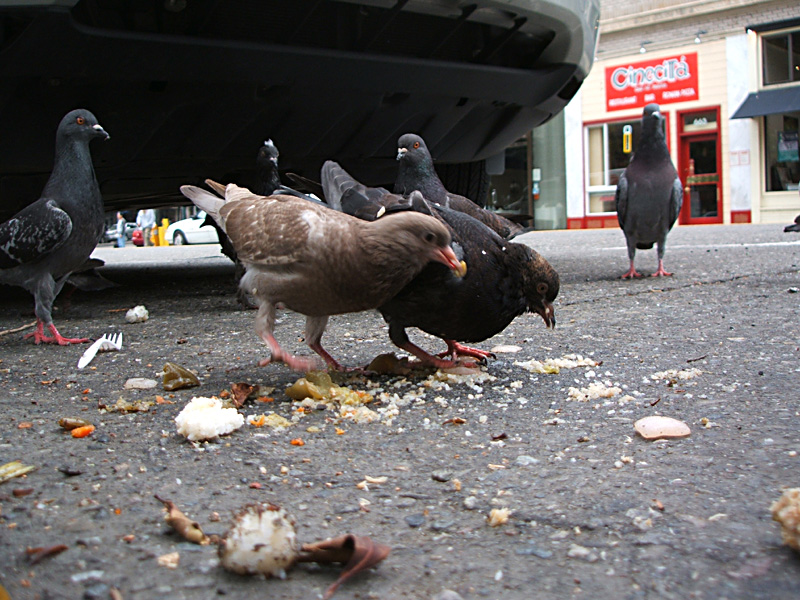 pigeons have brunch, North Beach