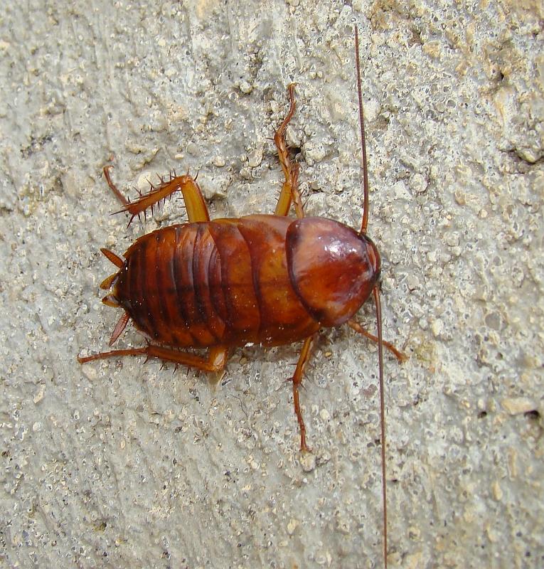 Barata Americana // American Cockroach (Periplaneta americana)