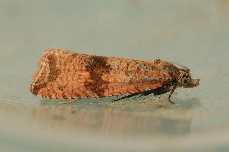 4722 Paardenbloembladroller - Celypha striana
