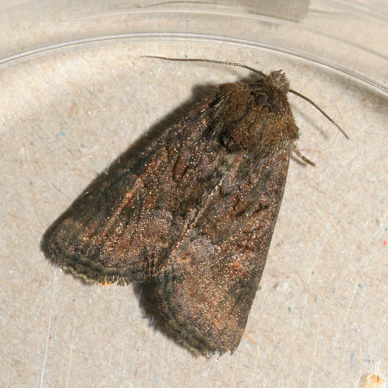 09782 Donker Halmuiltje - Tawny Marbled Minor - Oligia latruncula