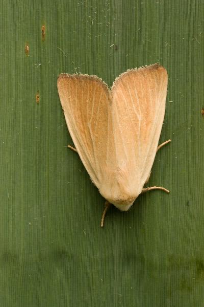 09872 Egale Rietboorder - Fen Wainscot - Arenostola phragmitidis