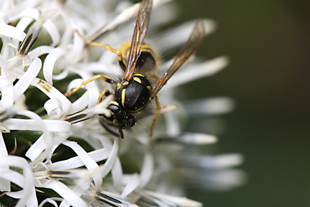 Wasp on globe thistle