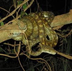 Morelia kinghorni