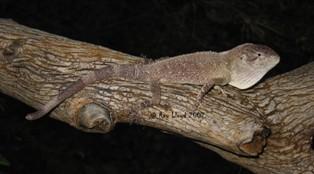 Chelosania brunnea