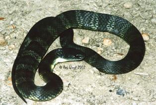 Notechis scutatus