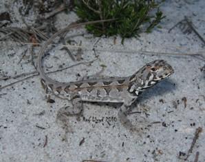 Ctenophorus adelaidensis