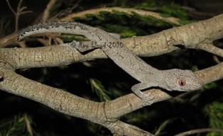 Strophurus spinigerus