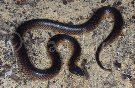 Parasuta nigriceps