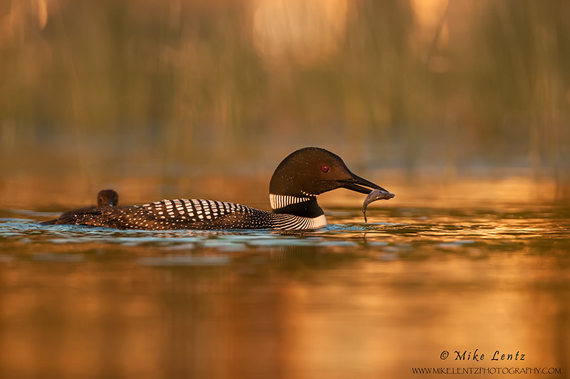 Common Loon with sunfish
