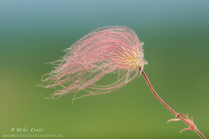 Prairie smoke Flower