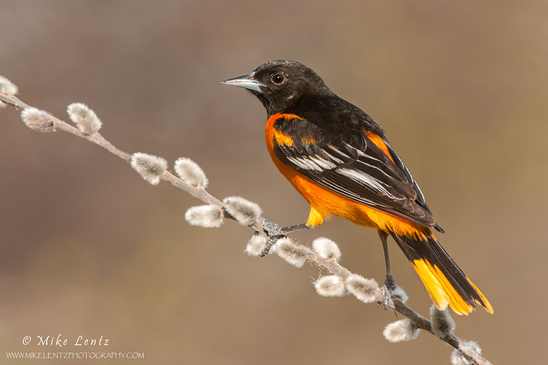 Baltimore Oriole on Pussywillow